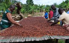 Producteurs de cacao (Photo : latoque.fr).