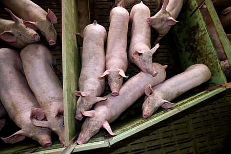 Porc : la FNP veut accentuer les actions syndicales - Photo : Thiriet